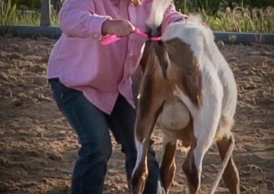 Goat Ribbon Pulling
